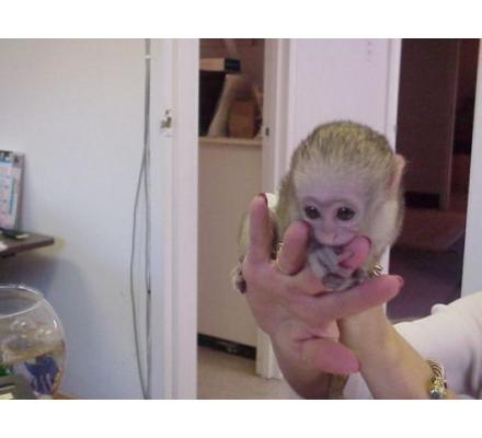 Squirrel monkeys,Capuchin monkeys,Spider monkeys,chimpanzees and Marmosets for sale