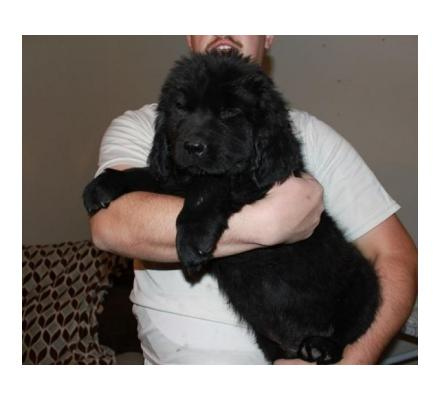 Male and Female Newfoundland puppies Ready