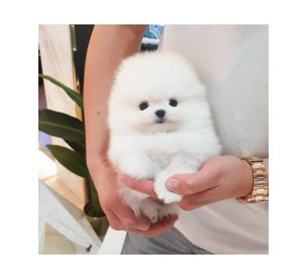 Charming Pomeranian puppies for sale