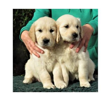 2 Adorable Golden Retriever puppies for free Adoption