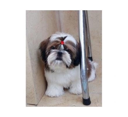 Available Shih Tzu Pups For Adoption