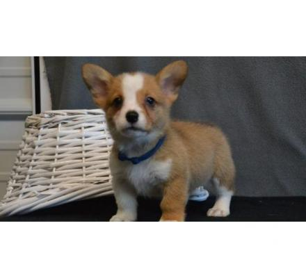 Pembroke welsh corgi puppies now ready for sale