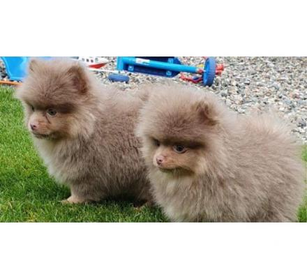 Sweet Pomerania Puppies