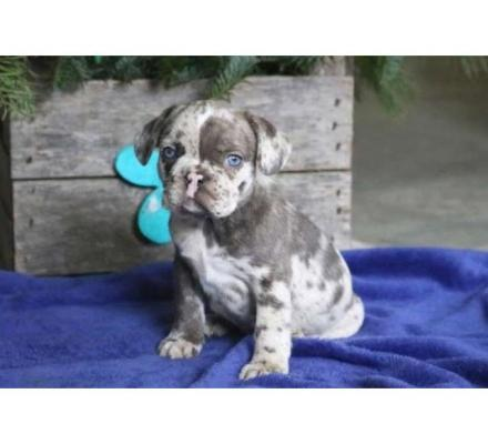 Perry French Bulldog Puppy