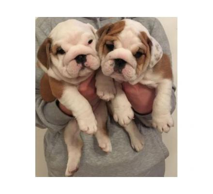 english bulldog puppies,