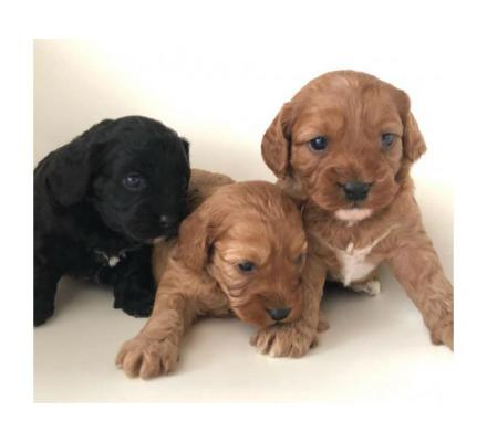 Smart Cavoodle puppies for sale