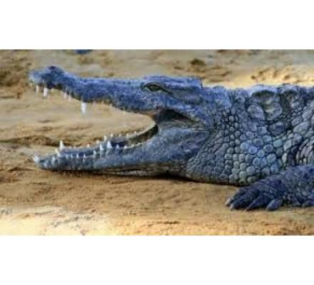 WANTED: Crocodiles for home defence