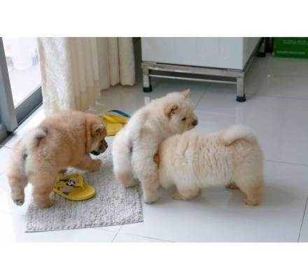 Stunning Chow Chow Puppies Available