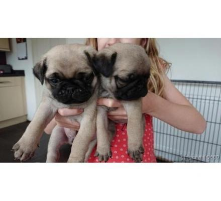 pug puppies looking for their for ever home