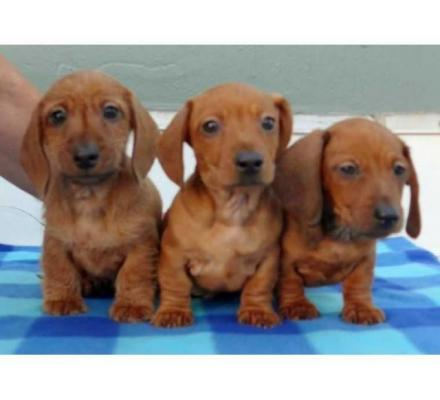 Registered Dachshund Puppies Available For Sale