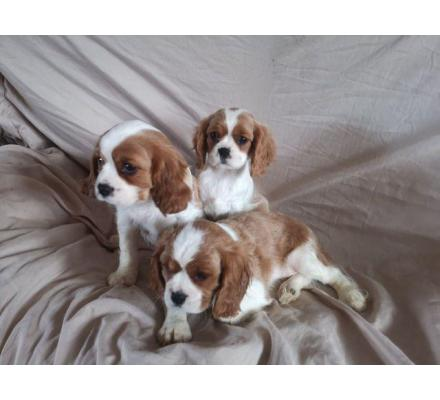 Adorable Cavalier King Charles Spaniel Puppies.