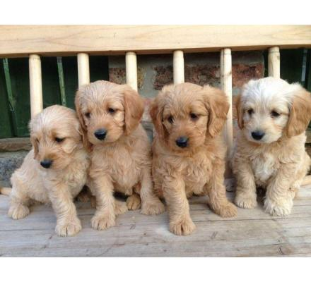 Toy Poodle Puppies for salee