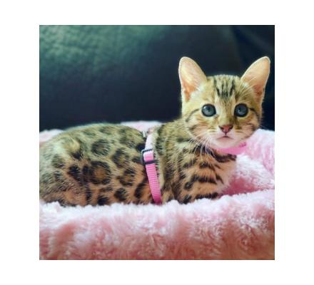 Cute Sphynx & Bengal kittens for adoption