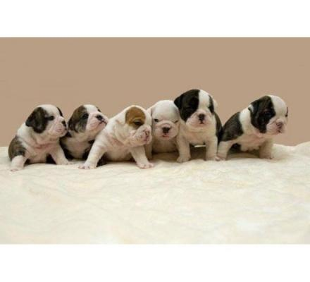 Purebred English Bulldogs