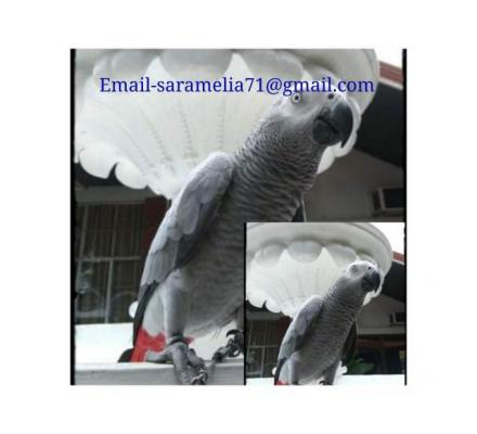 Hand Train African Gray Parrots Available