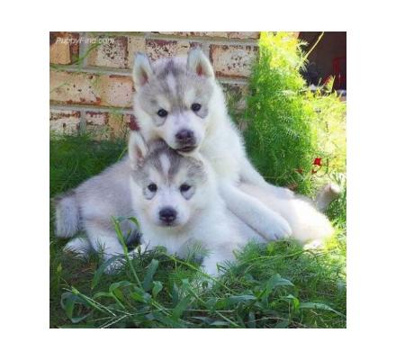 Gorgeous male and female husky puppies