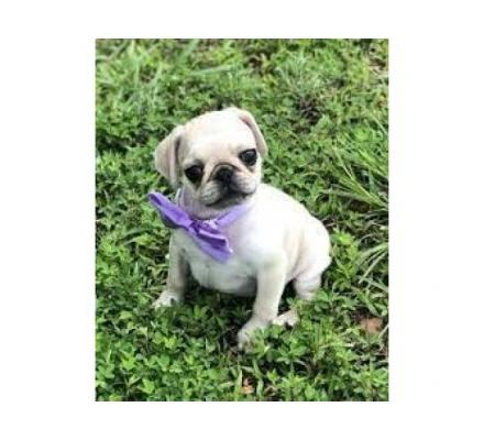 pug puppies available for adoption