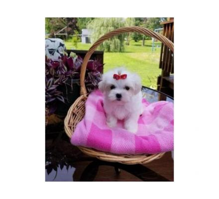 Beautiful Maltese puppies for good home