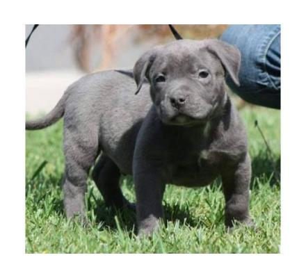 Bluenose American pitbull terrier puppies for sale.