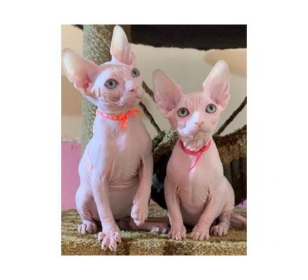 Sphynx and Bengal  kittens