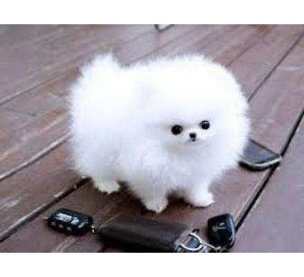 Charming White Pomeranian Puppies Available