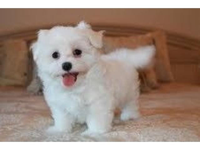 Healthy and adorable Maltese puppies available