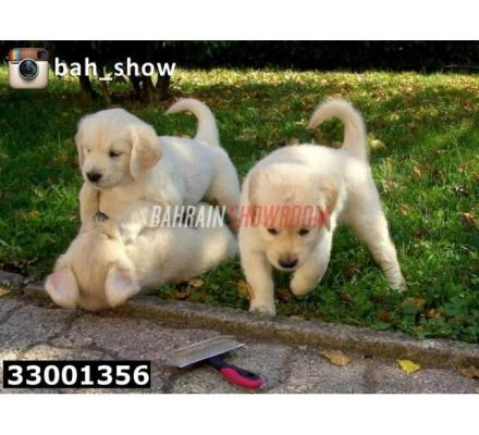 Golden Retriever Puppies For Sale....