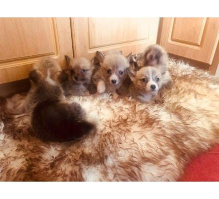 !!! 6 beautiful aKc Welsh Corgi Pembroke Puppies For Sale!!!