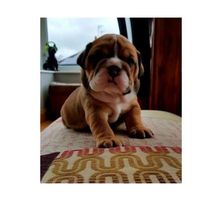 AKc Reg English Bulldog  Pups Ready To Leave In 9 Days!