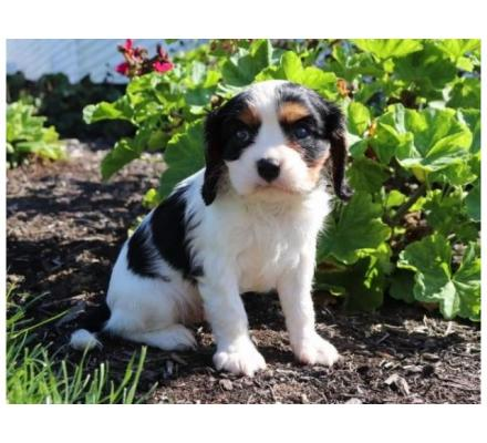 cute and sweet king Charles  spaniel puppies for sale and adoption
