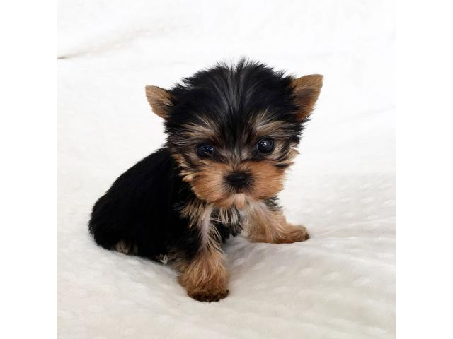 Pets - Pet Supplies | Teacup Maltese and Yorkie Puppies