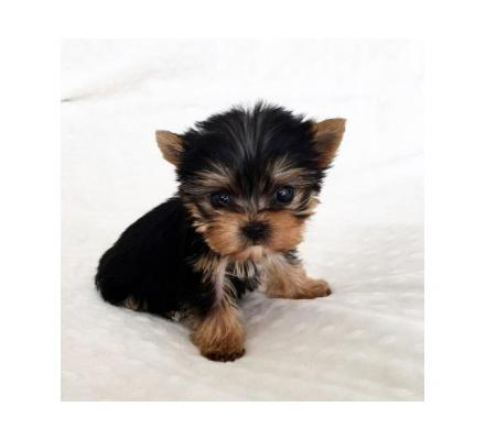Teacup Maltese and Yorkie Puppies