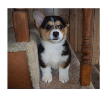 Pembroke   Welsh Corgi  Puppies For you