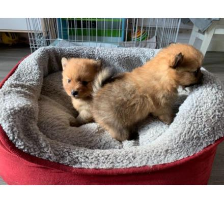 Precious Pomeranian Pedigree Puppies