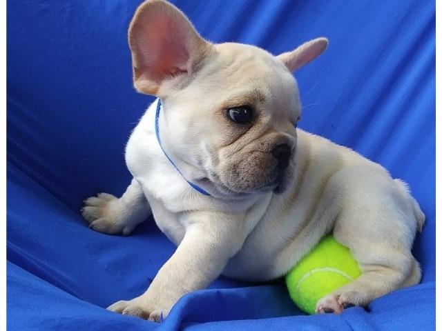Pets - Pet Supplies | French Bulldog Puppies for Sale ...