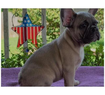 Kimble French Bulldog Puppy for Sale