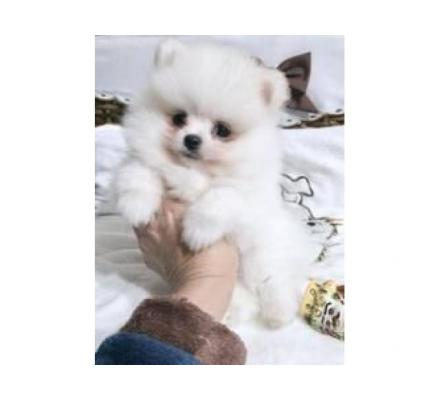 Super Small Pure White Pomeranian Puppies
