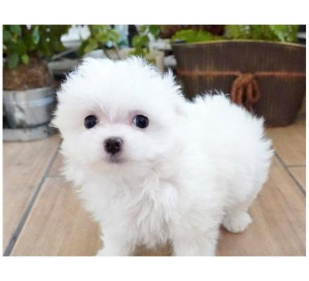 Maltese Puppies Looking For A Forever Home