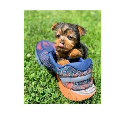 Males and females Teacup Yorkie puppies for new homes