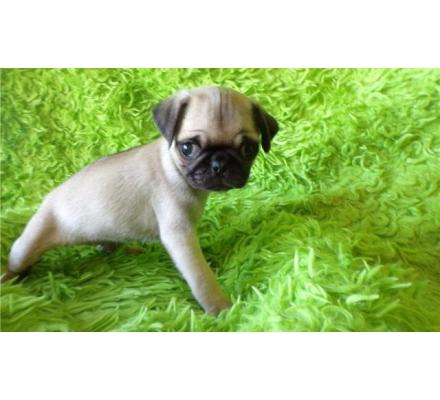 Pug Puppies Looking For Their Forever Home.