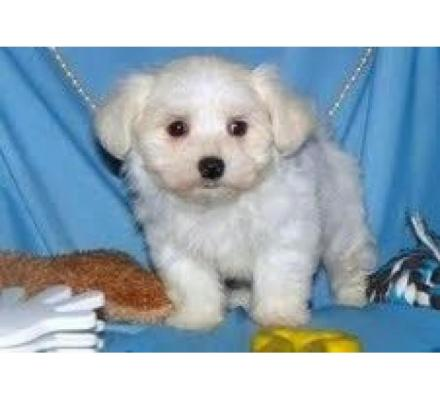 Intelligent Teacup Maltese Puppies