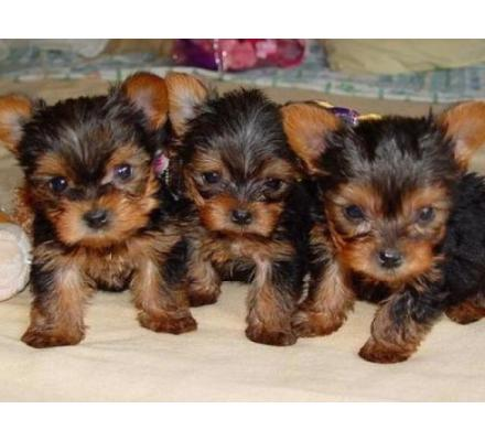 Cute And Adorable Teacup Yorkie Puppies For Adoption