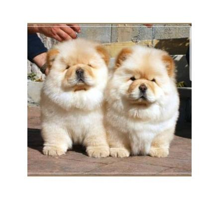 Chow Chow cream white fluffy puppies.