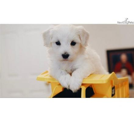 Full Pedigree Maltese puppies.whatsaap me:+639232316532
