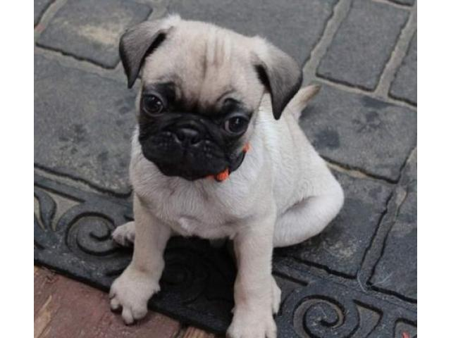 ANKc Registered Pug Puppies !!ready Now!!